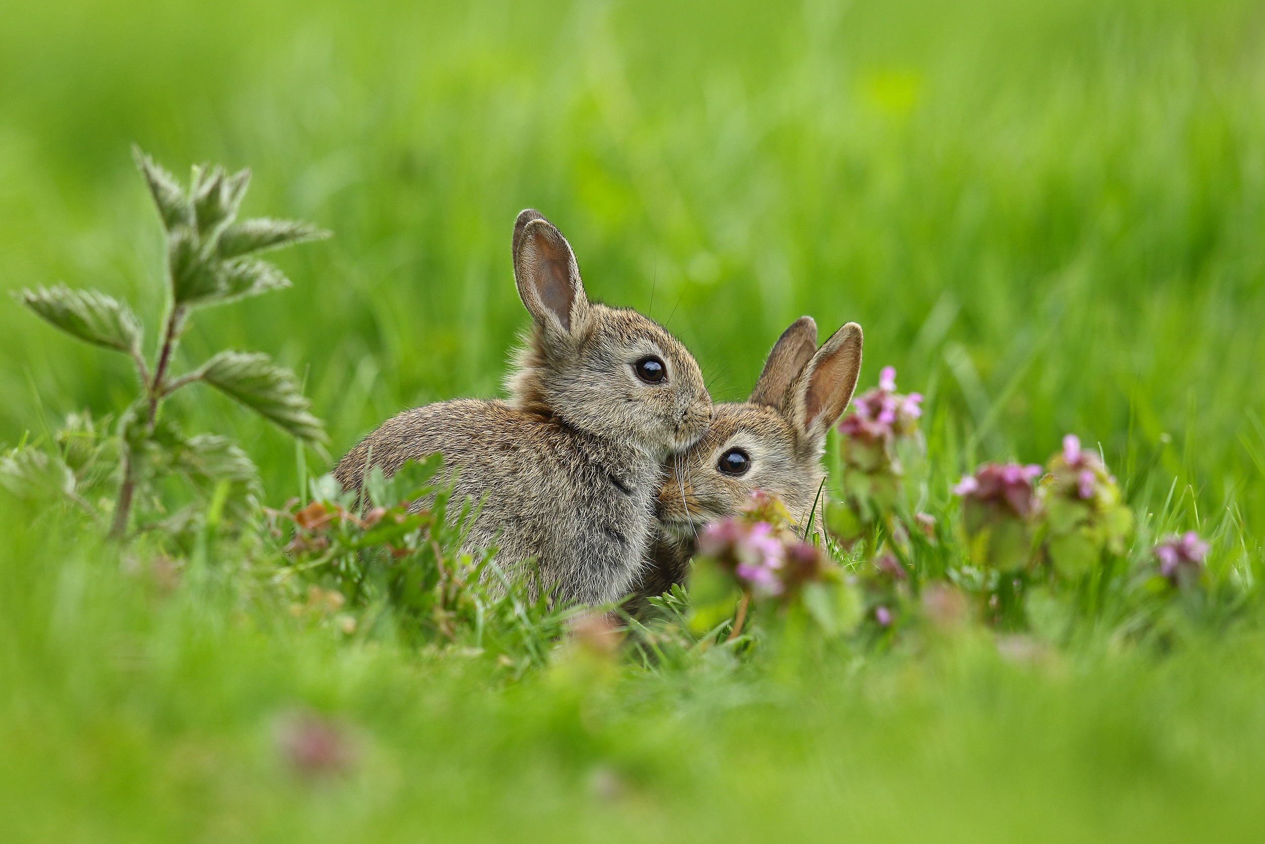 bunnies, rabbits, simon, roy, photography, juvenile, spring, easter, Yorkshire, wild, nettles