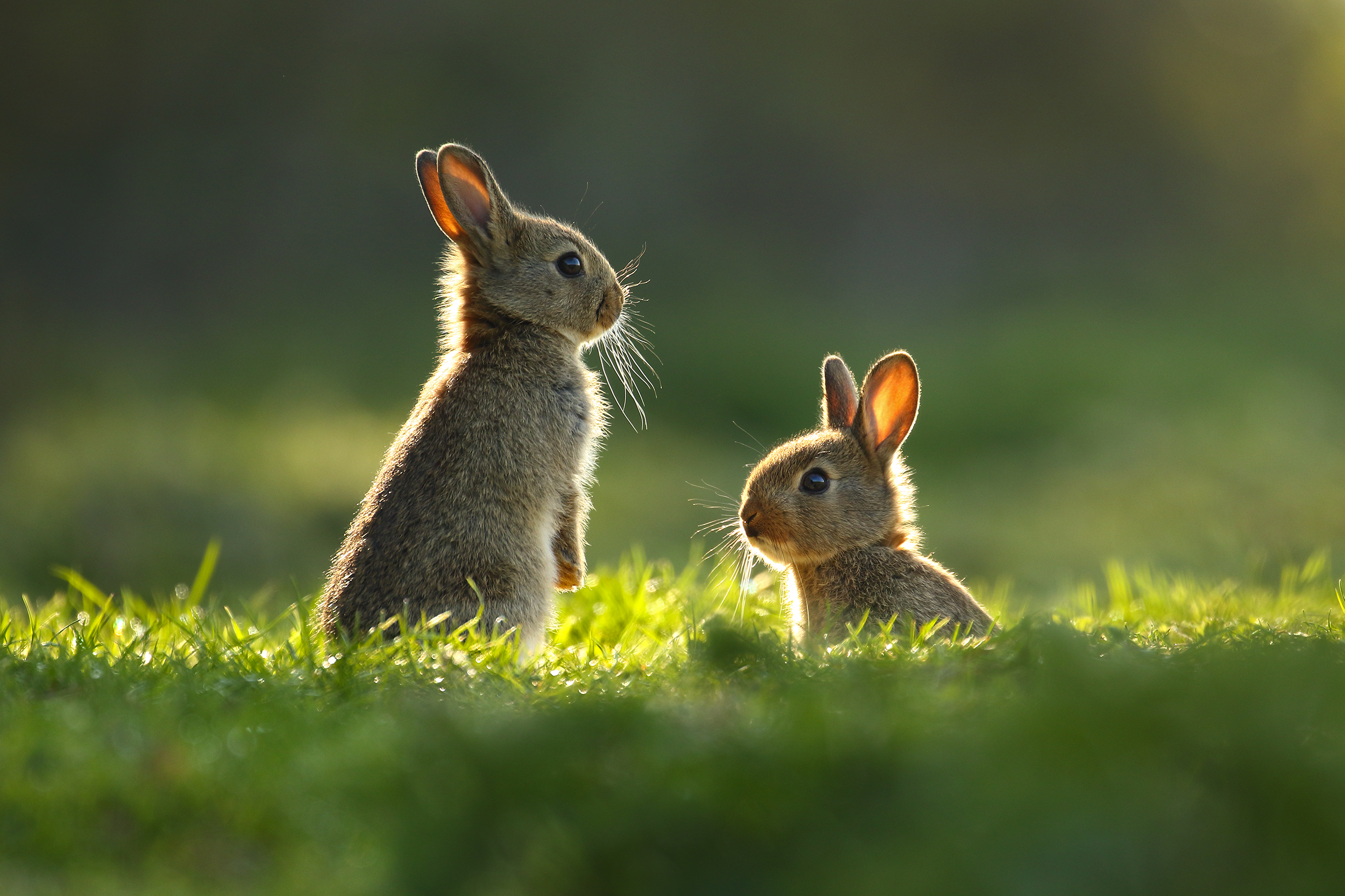 backlit, bunnies, rabbits, simon, roy, photography, juvenile, spring, easter, Yorkshire, wild
