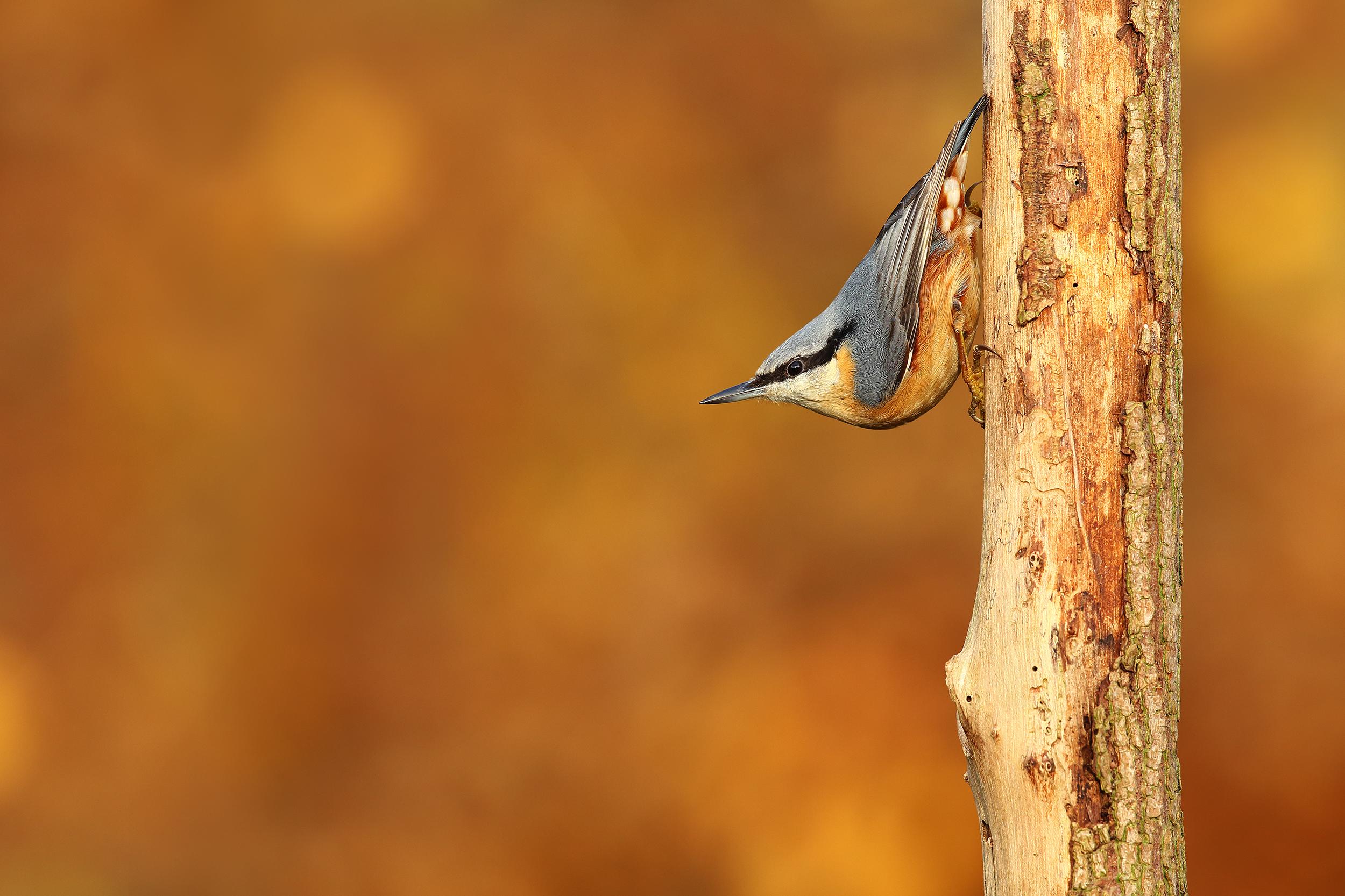 autumn, nuthatch, simon, roy, photography, wildlife, Yorkshire, photographer