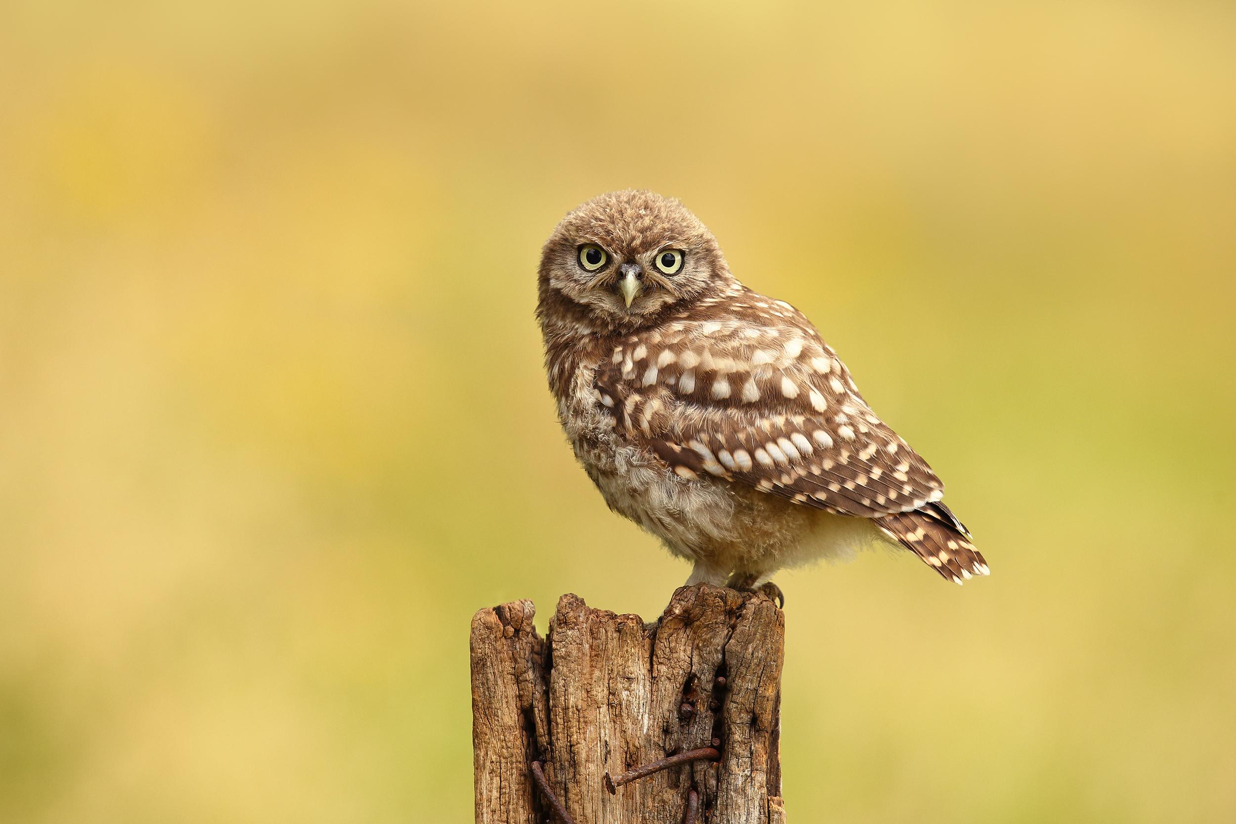 Little Owlet.jpg