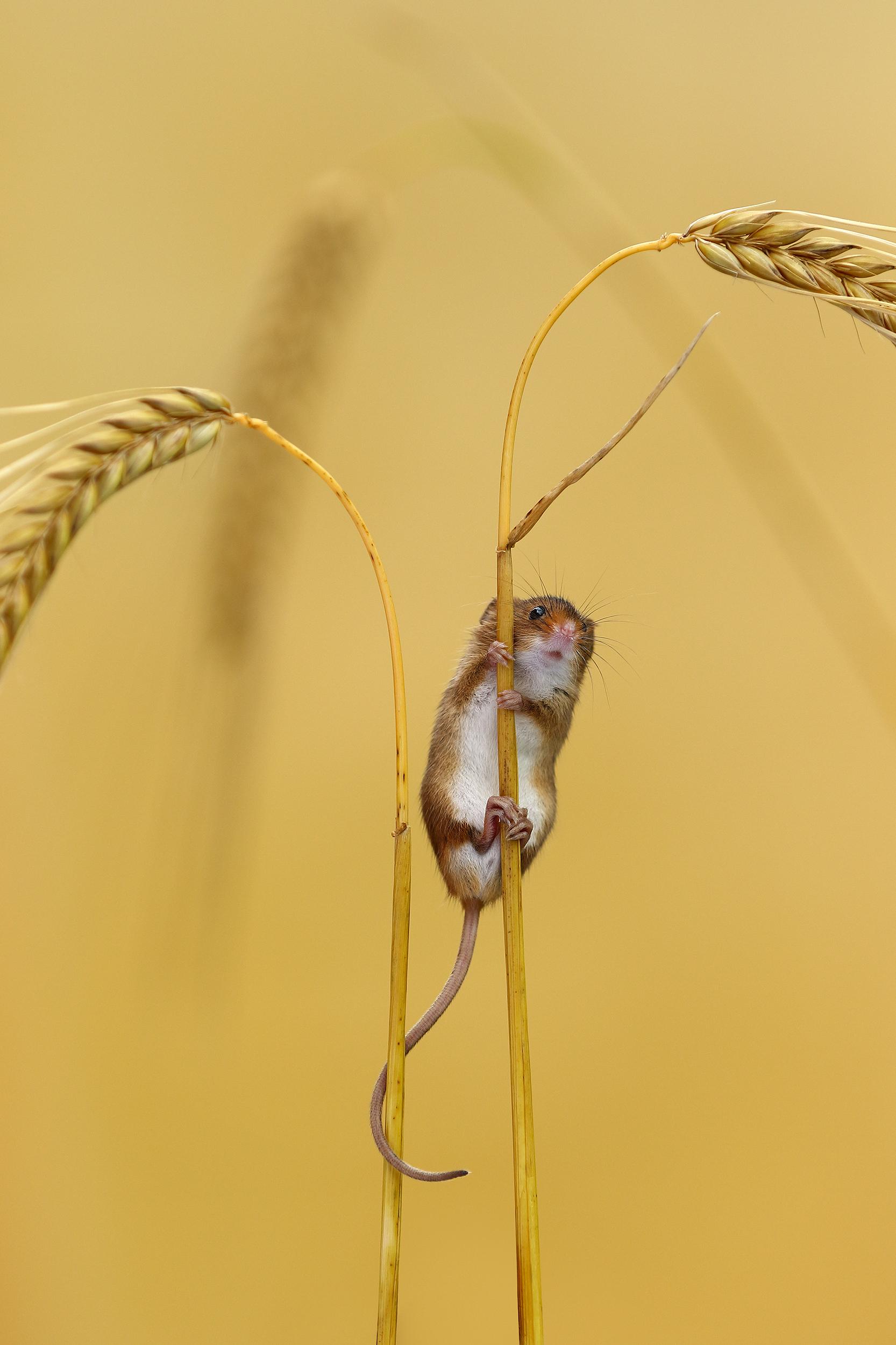 Harvest_Mouse.jpg