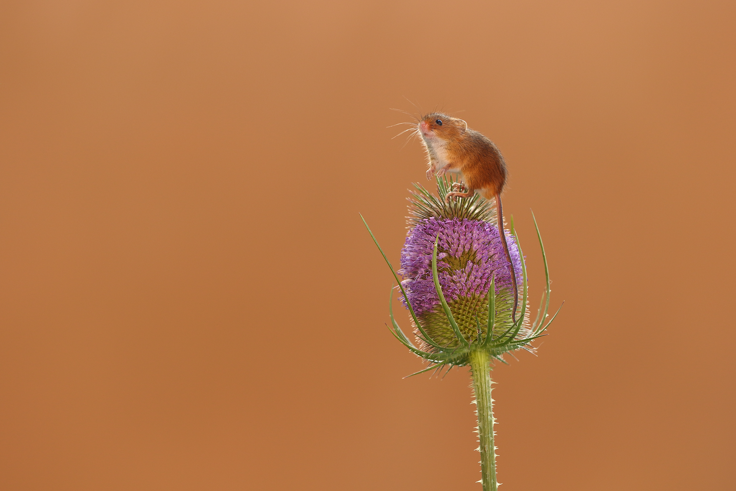 Harvest_Mouse_Teasel.jpg