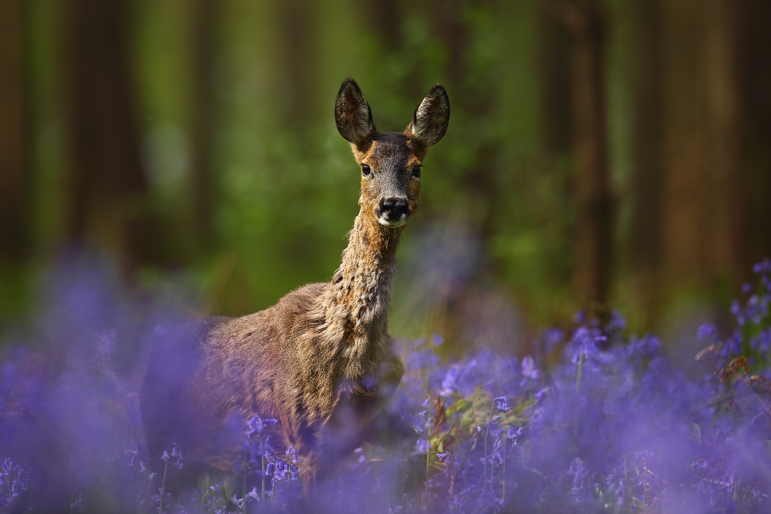Doe_in_Bluebells.jpg