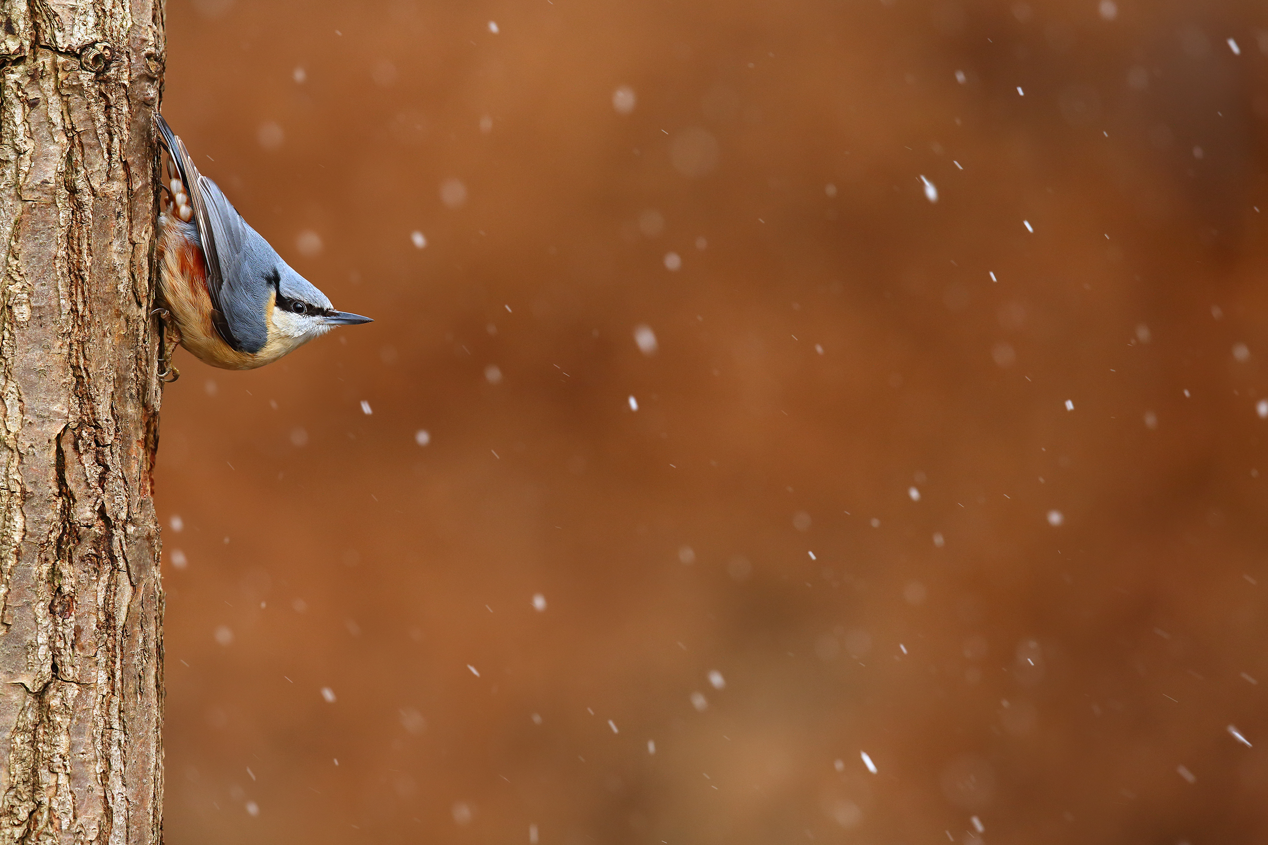 Nuthatch_in_Snowfall.jpg