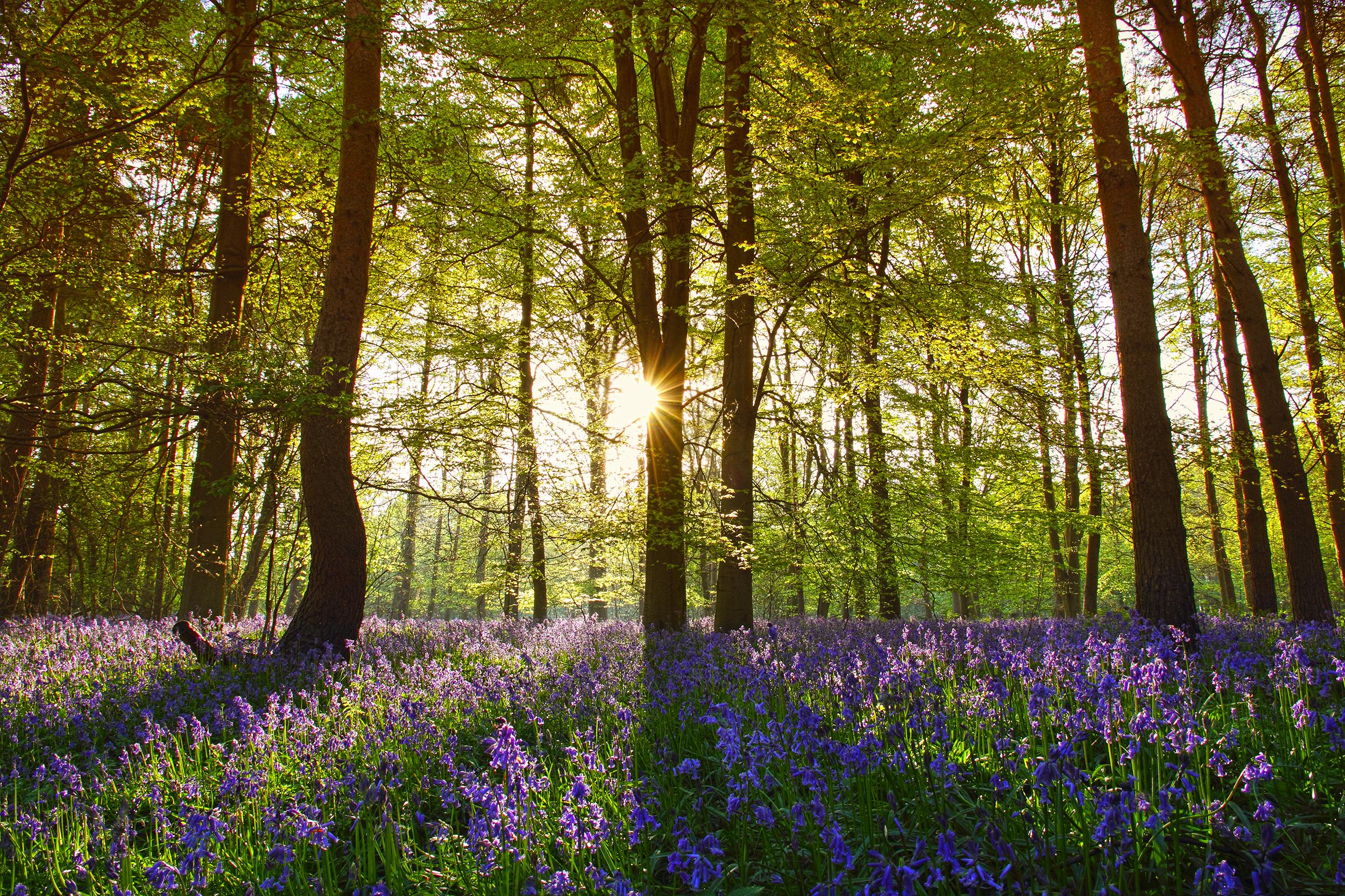Bluebell_Wood.jpg
