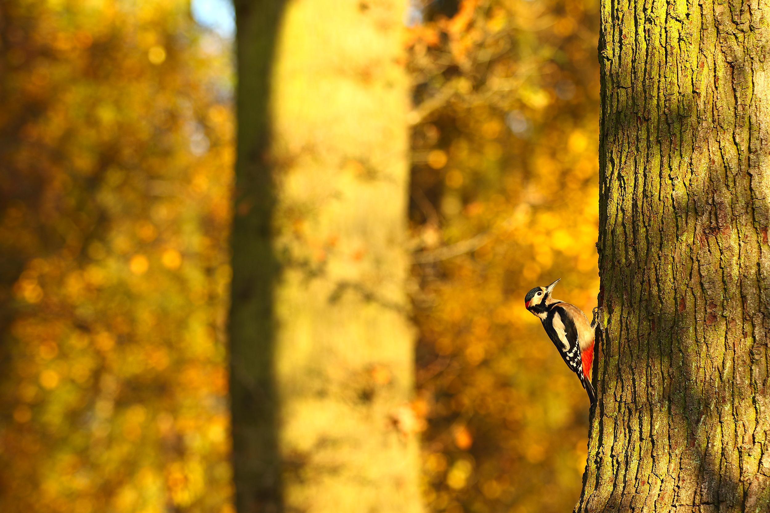Autumn_Woodpecker.jpg