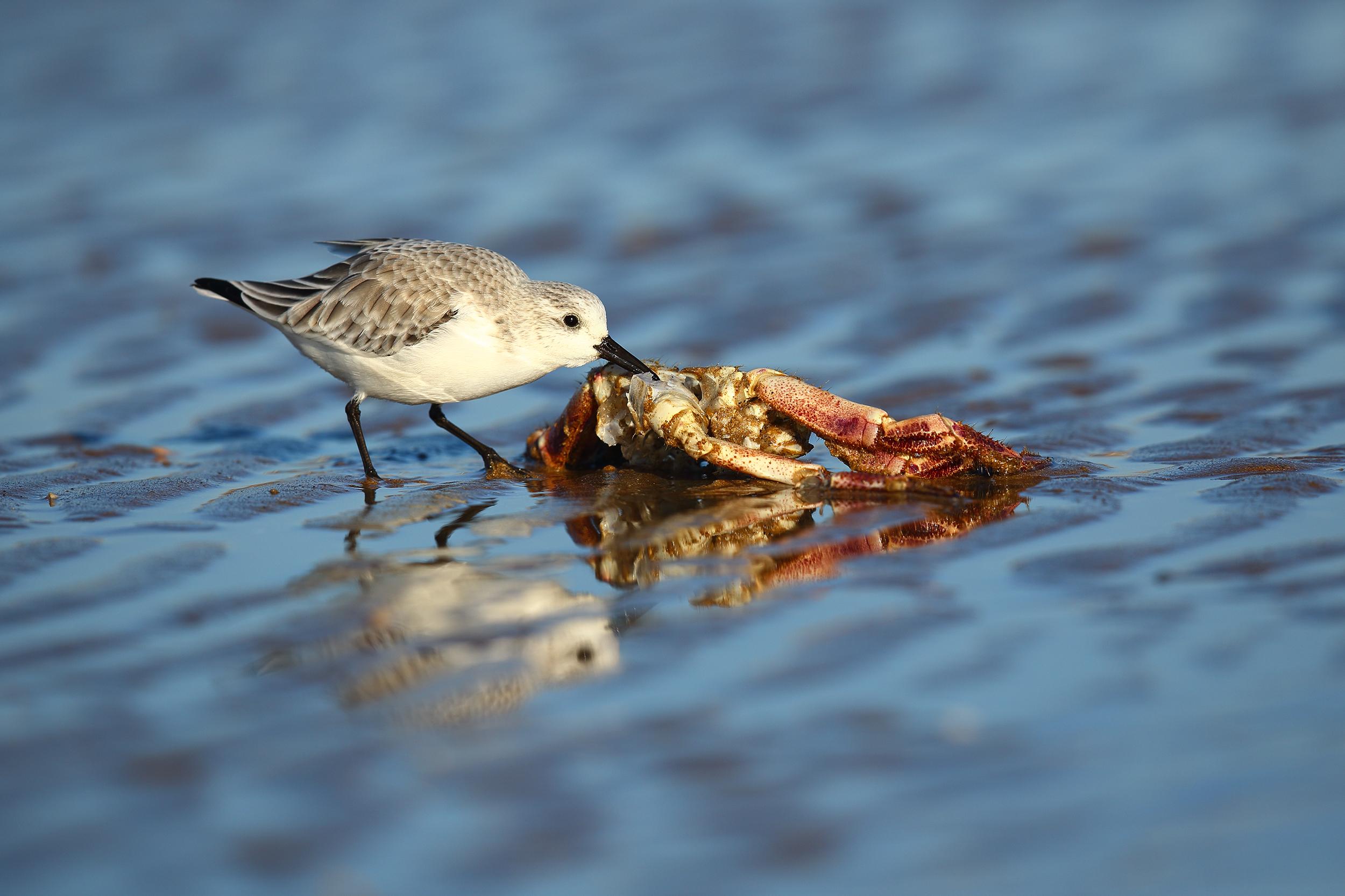 Sanderling_Eating_Crab.jpg