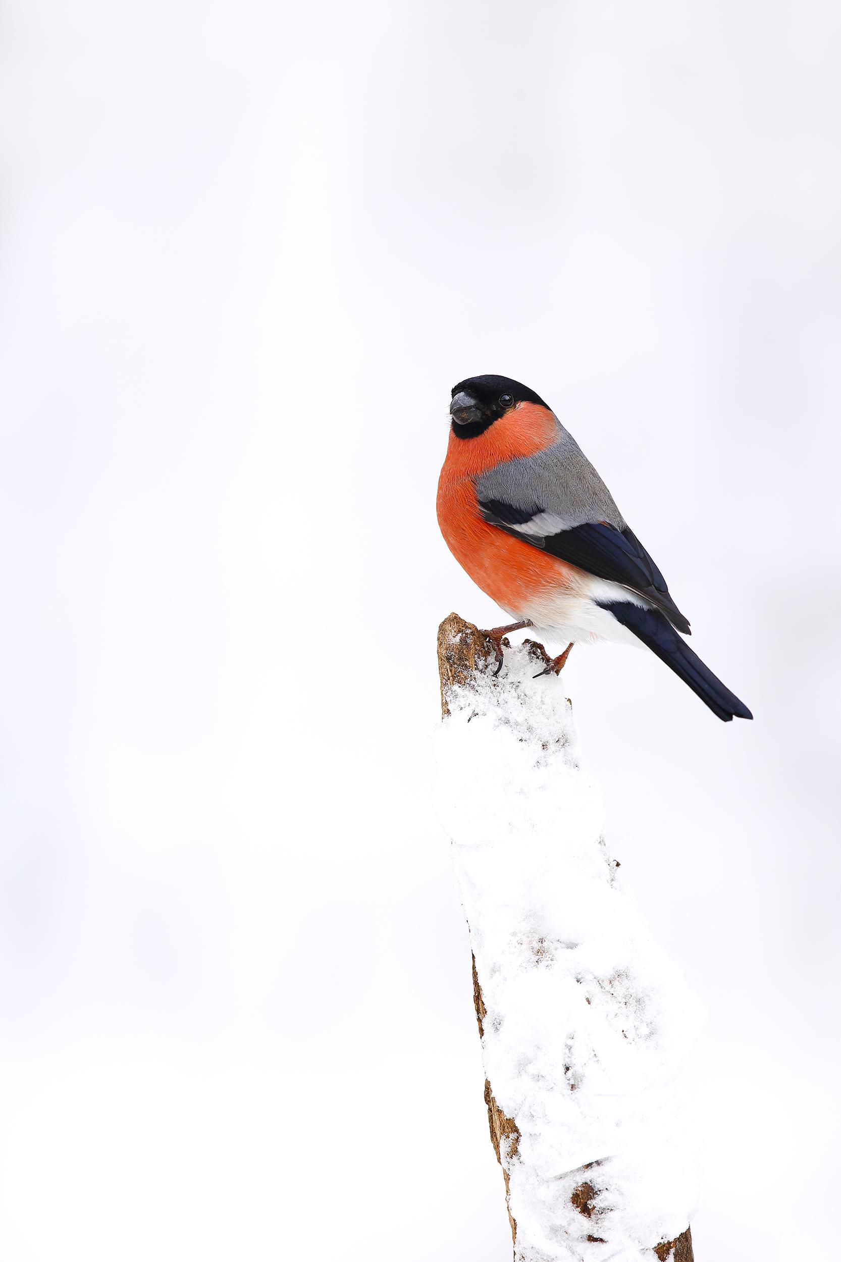 Winter_Bullfinch.jpg