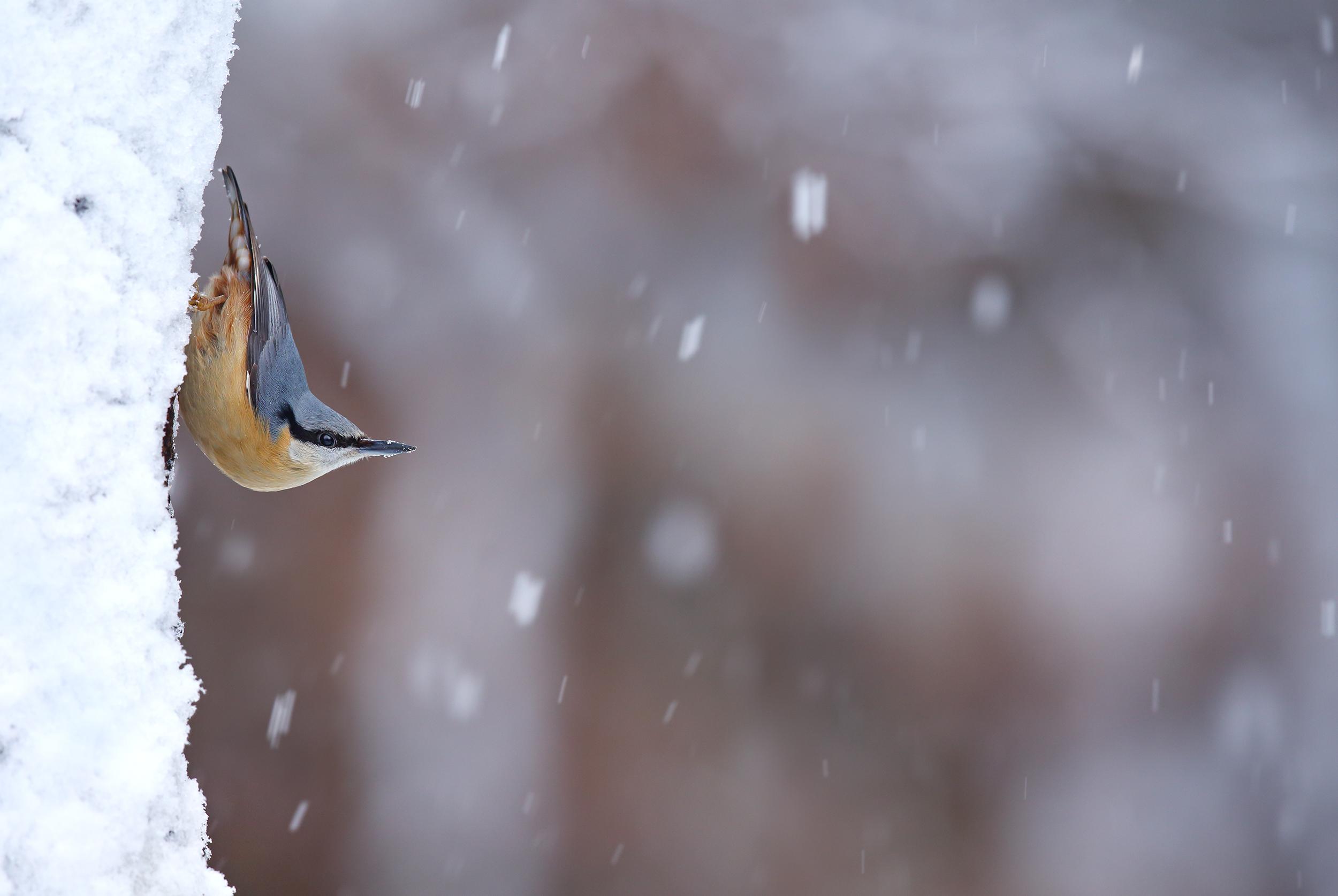 Nuthatch in Snow.jpg