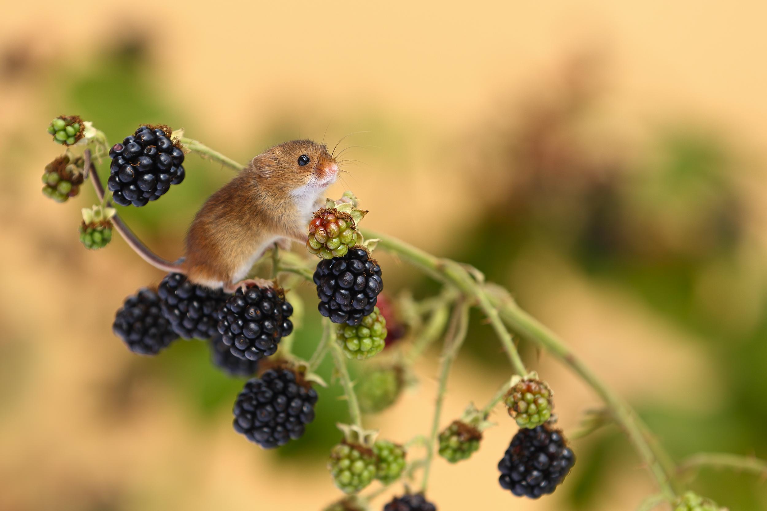 Harvest_Mice_on_Brambles.jpg