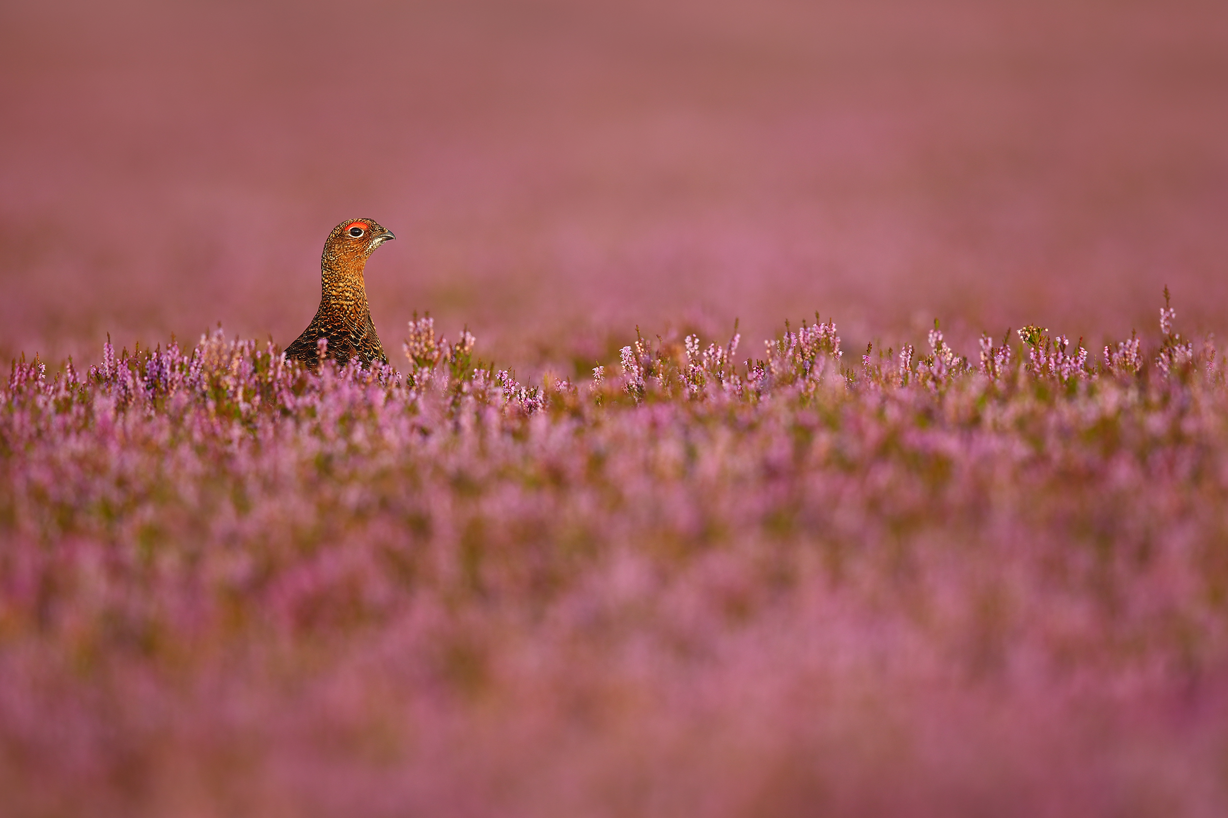 Pretty in Pink, wild, wildlife, Simon, Roy, photography, Bird Photographer of the Year 2019 Awards