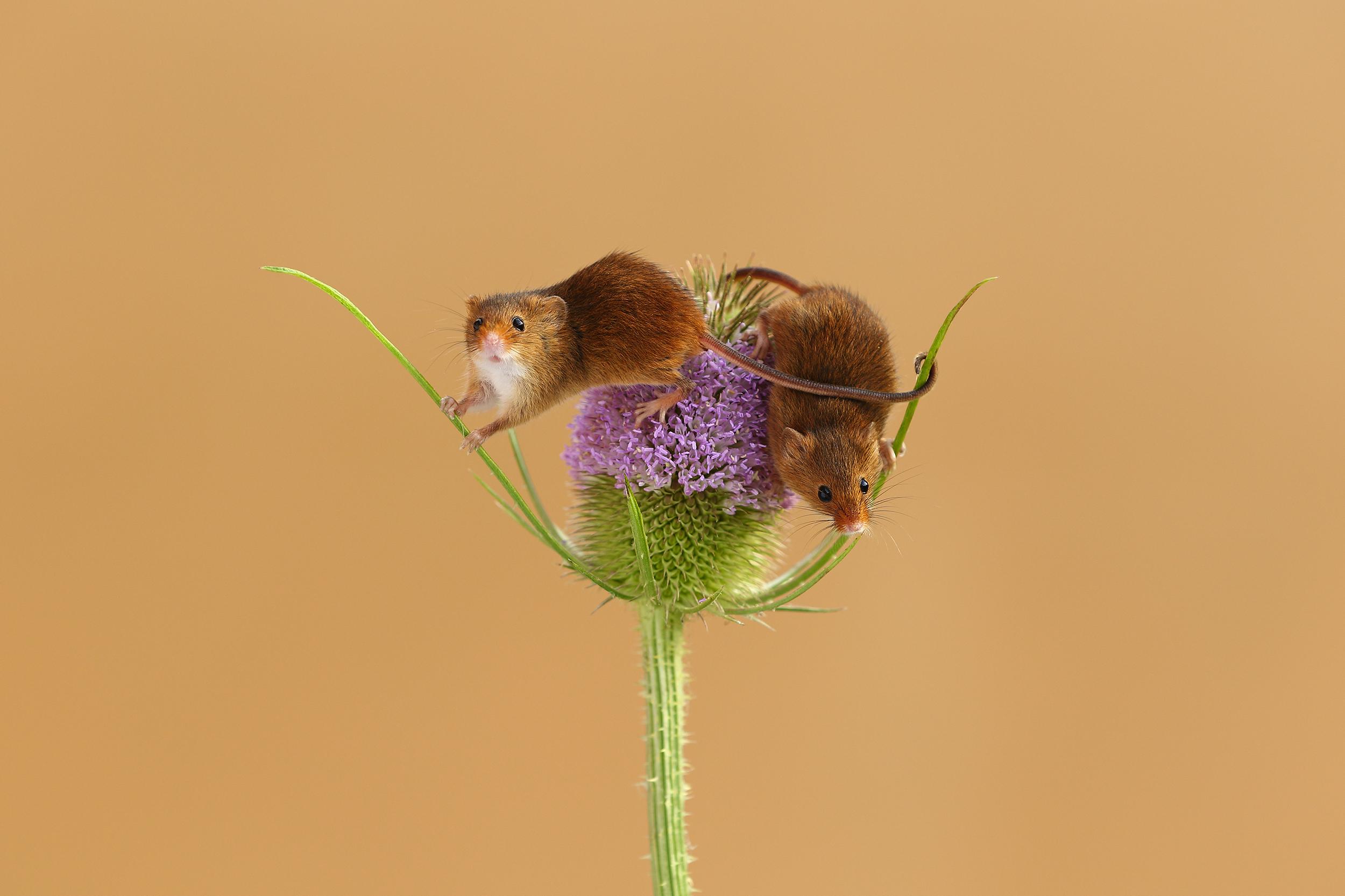 Harvest_Mice_Teasel.jpg