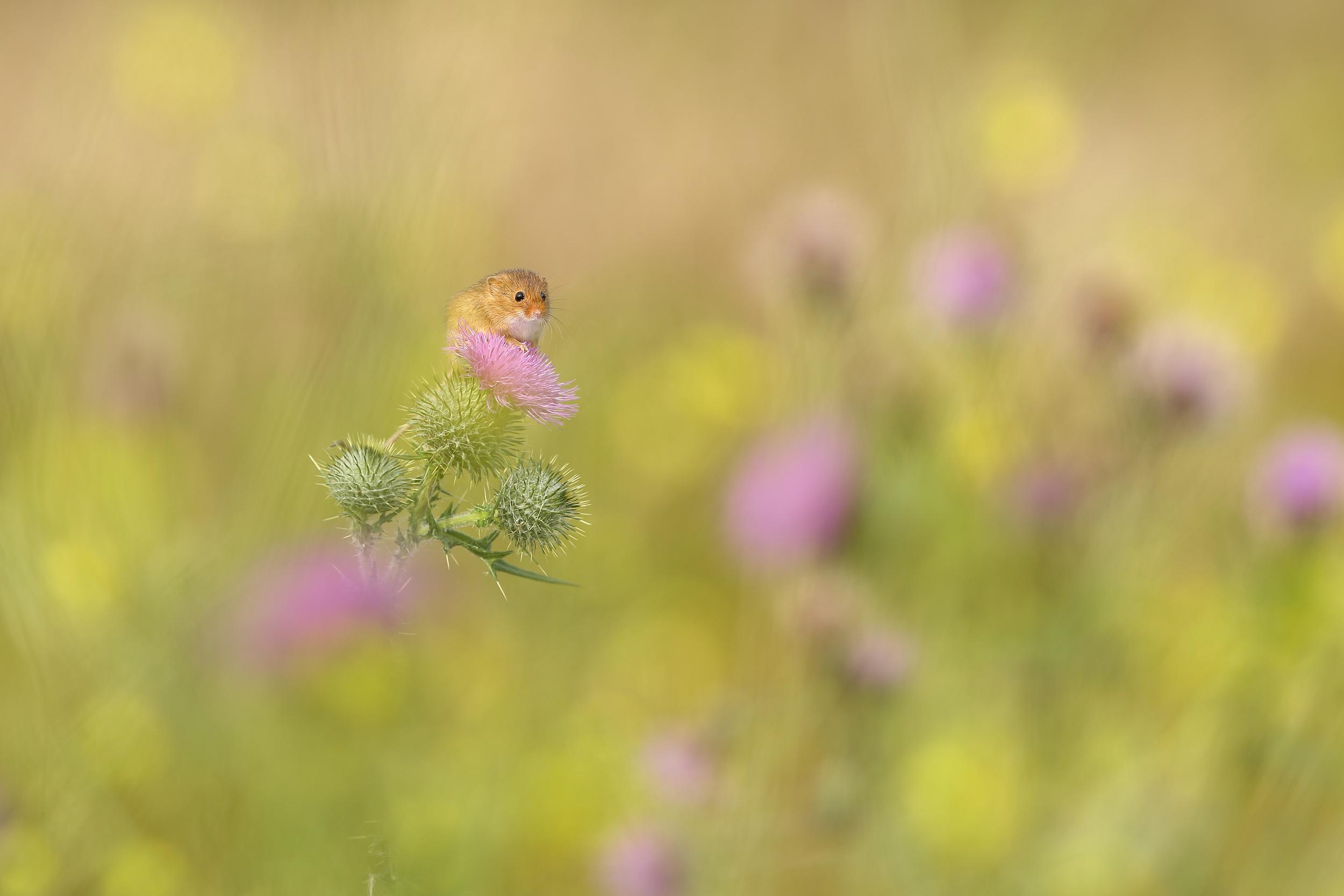 Harvest_Mouse_Thistle.jpg