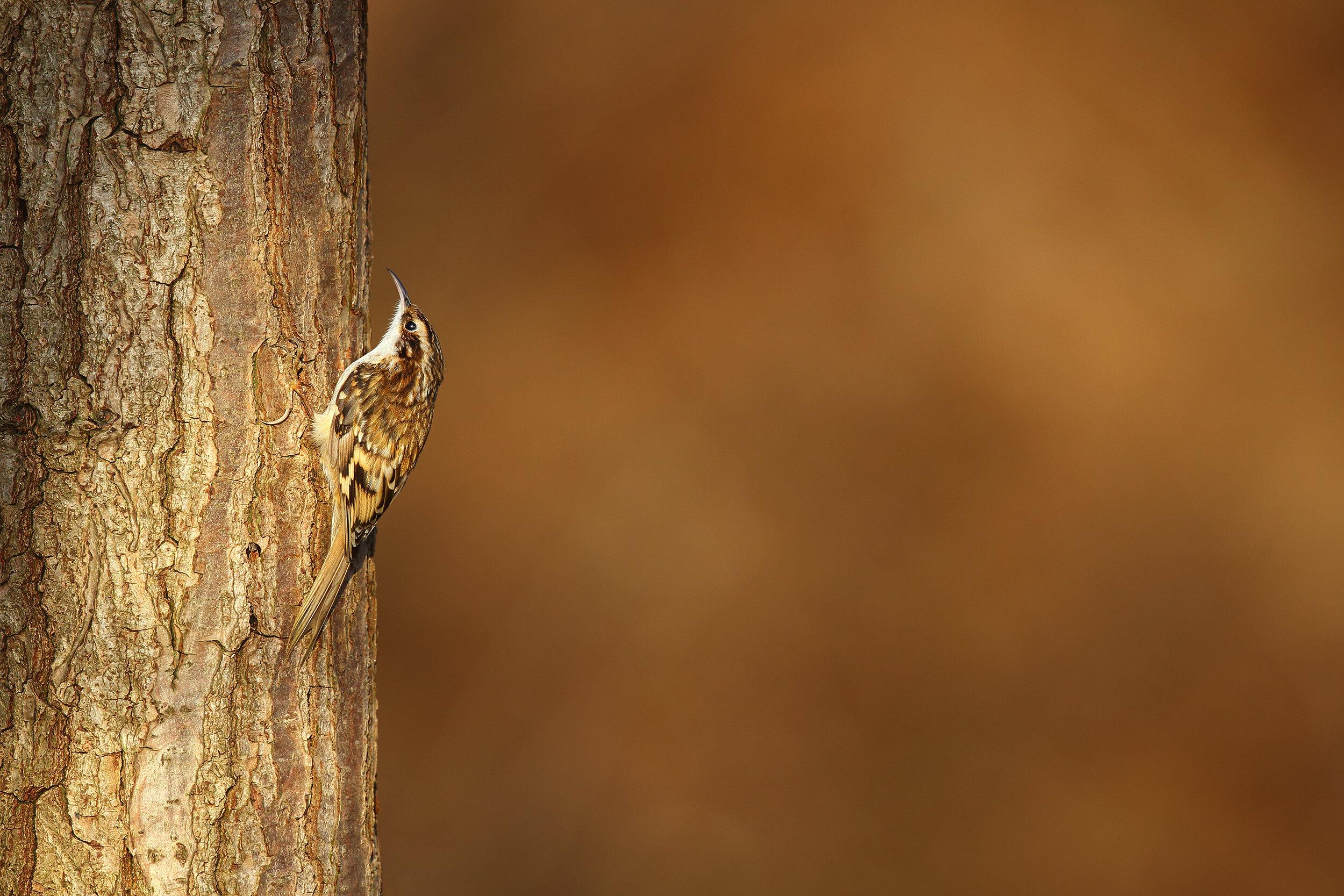 Treecreeper.jpg