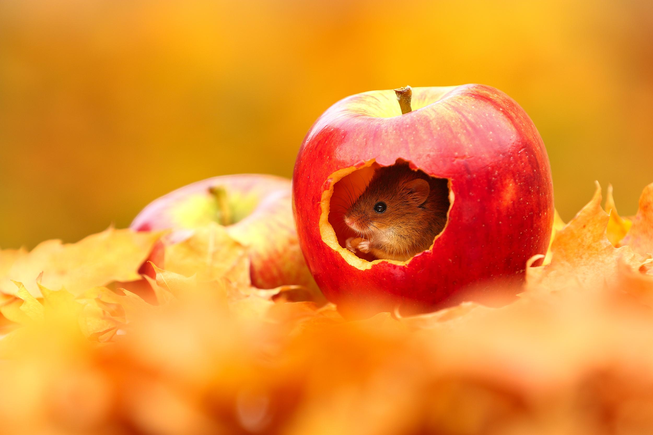 Autumn_Mouse.jpg