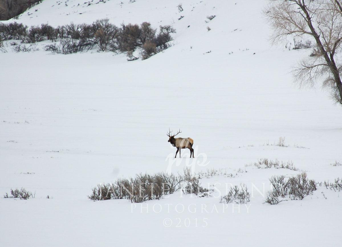 Bull-Elk-2.22.08-DSC_0130.jpg