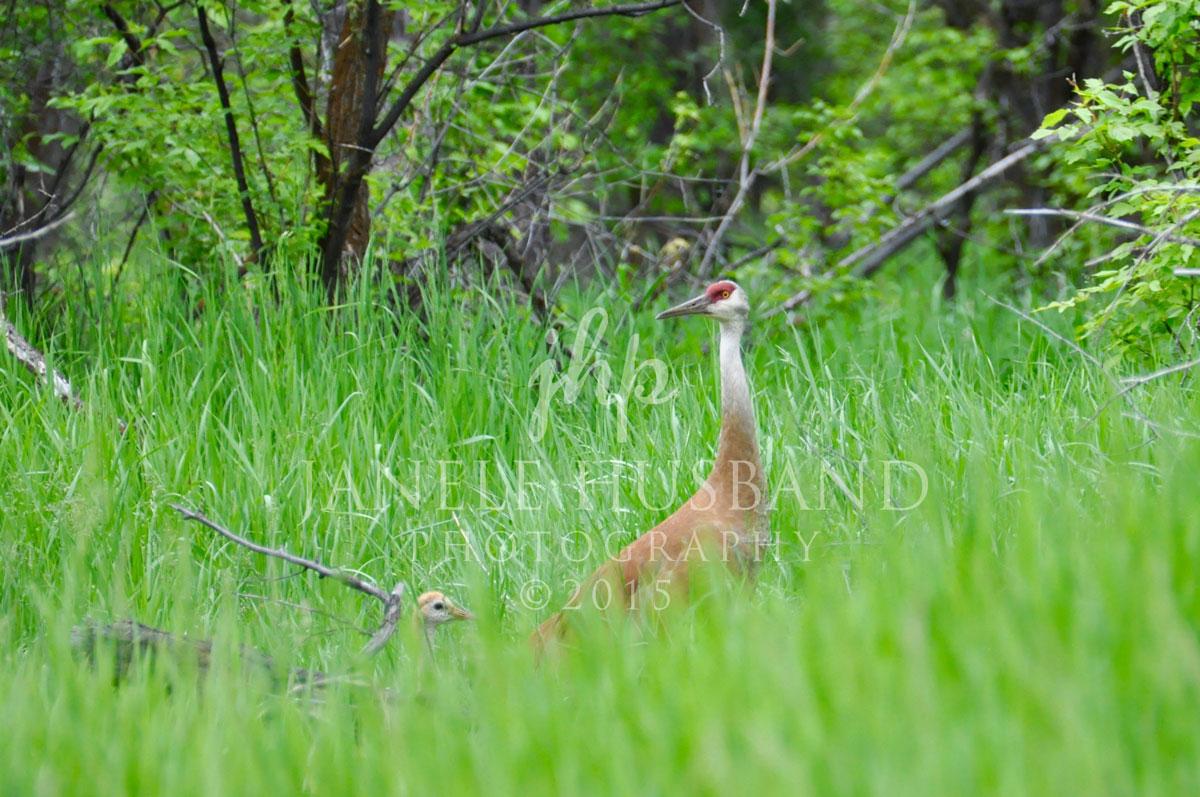 Sandhill-Crane-&-chick-DSC_3839.jpg