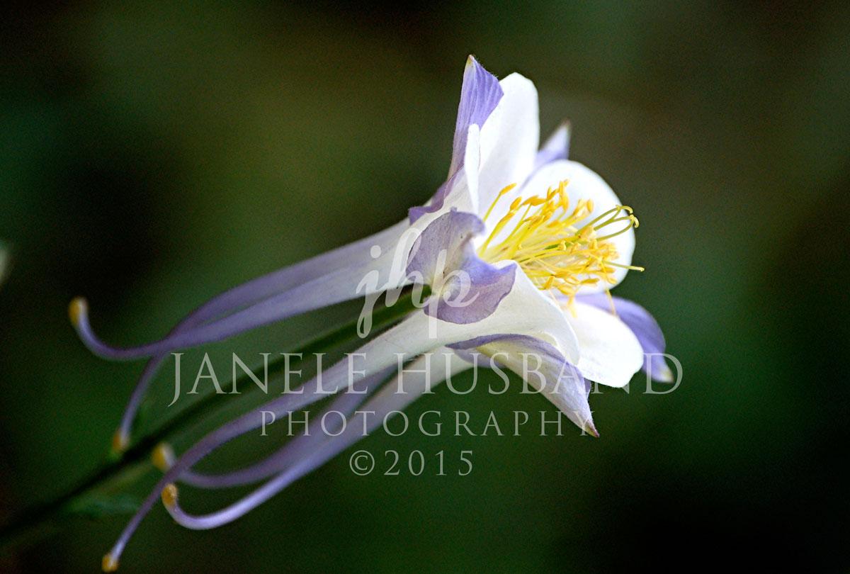 Flowers---CO-Columbine-'07-DSC_0117.jpg