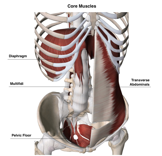 Anatomy illustration of Core Muscles.jpg