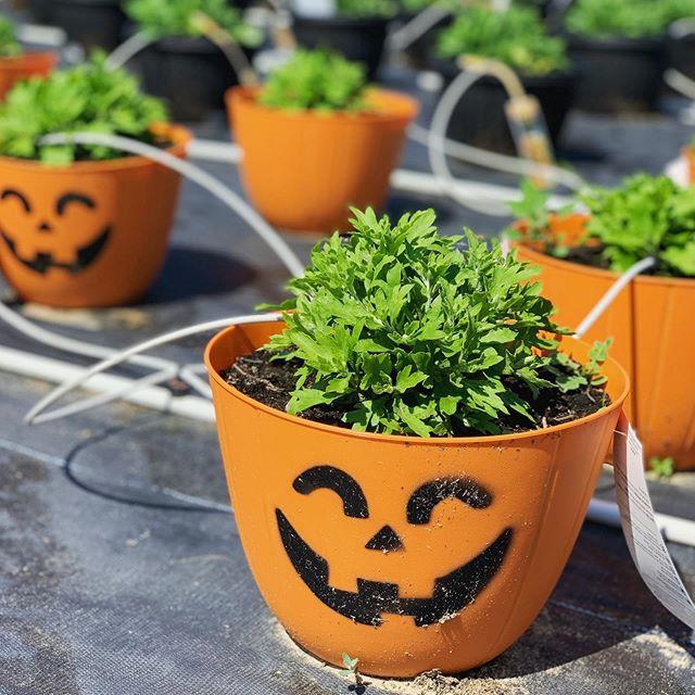 Des chrysanthèmes pour l'Halloween 🌱 #halloween #gardenmums #chrysantheme #fermegrover