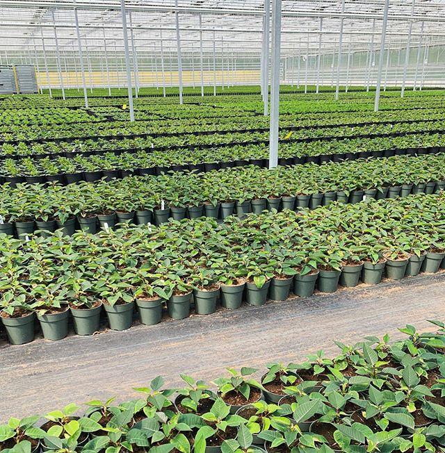 La production des Poinsettias nous rappelle qu'il reste 19 semaines avant Noël.🎄 #poinsettia #noel #christmas #greenhouses #fermegrover
