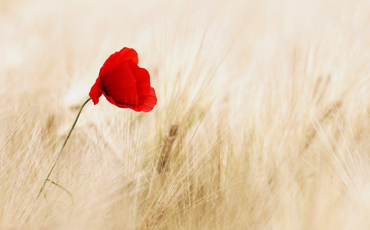 cereals-field-ripe-poppy-70741.jpeg