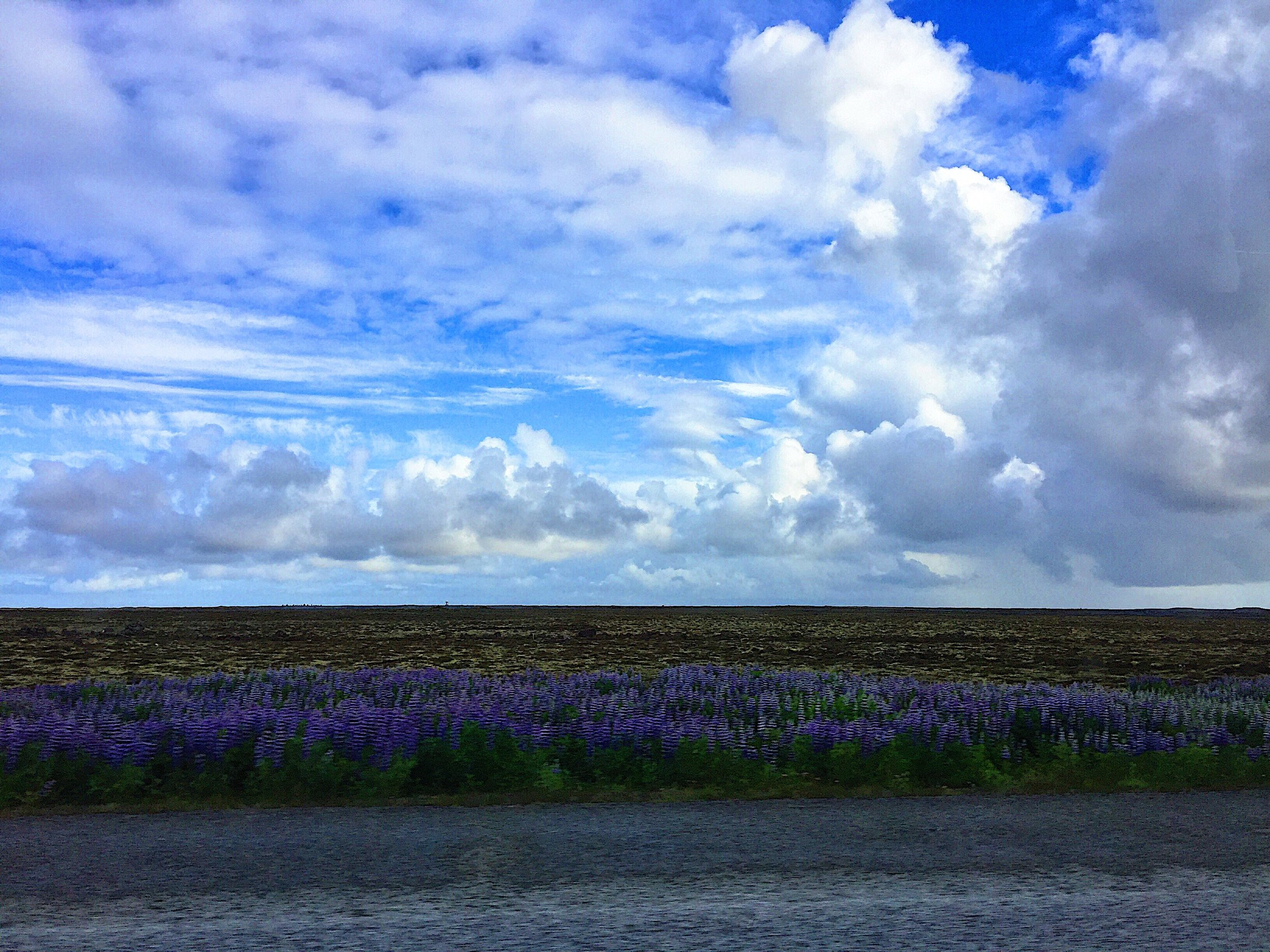 Violet flowers called lupine line the Ring Road in Iceland contrasting with the volcanic soil and open sky.
