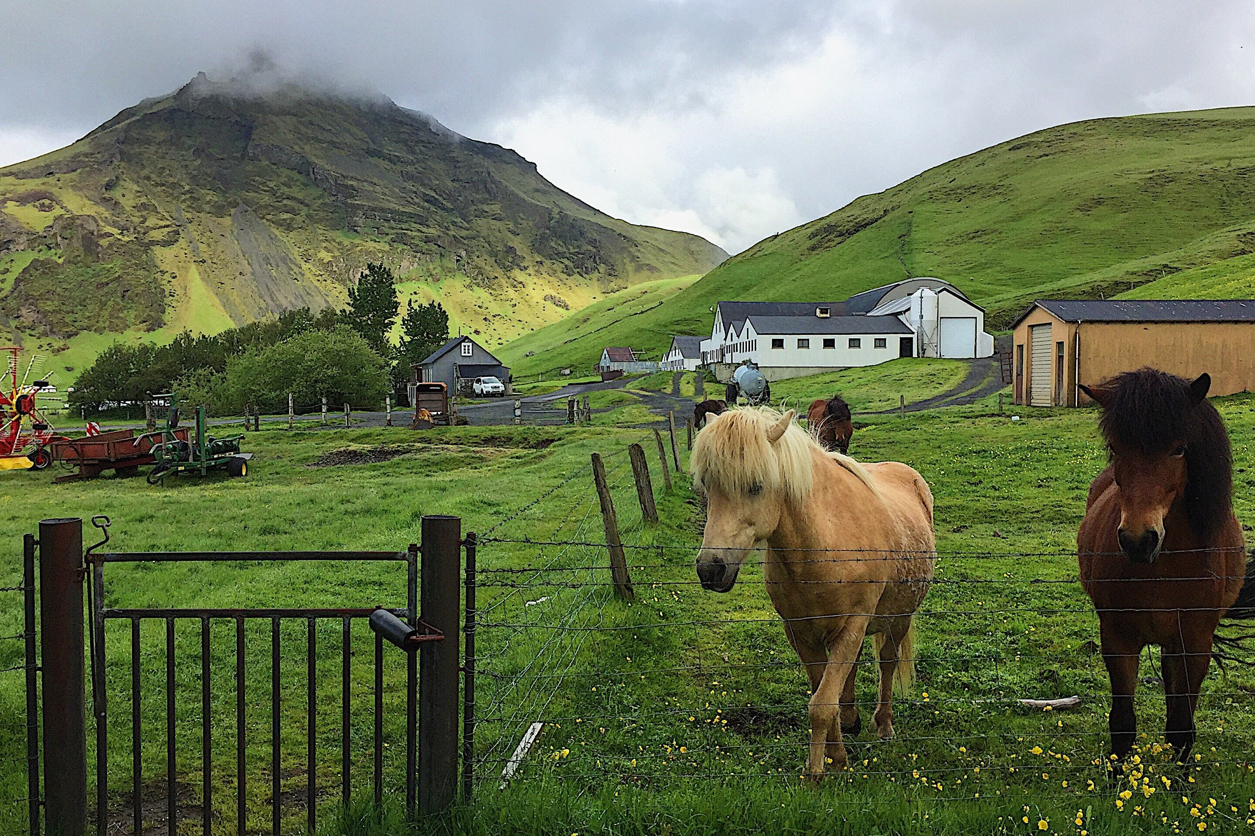 Eyjafjallajökull Volcano with some of the prettiest horses you will ever see.