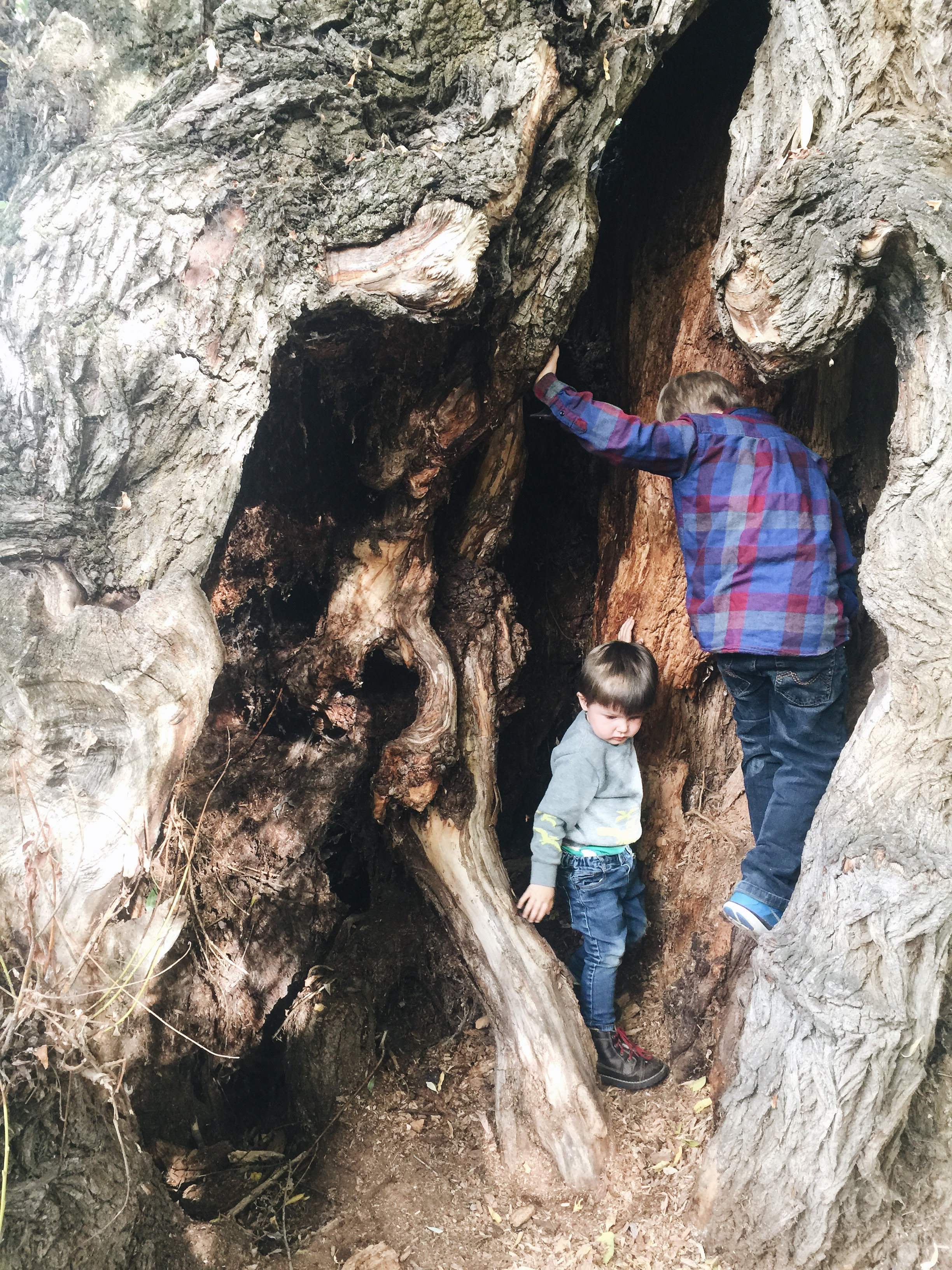 """This is the most amazing (and seemingly ancient) Cottonwood tree. The boys love to climb in it. Matthew asked today if we could live inside it! We recently finished reading """"My Side of the Mountain""""...if you've read that book, you'll know what I'm talking about. I highly recommend that book, by the way!"""