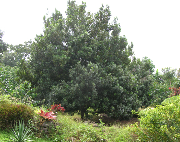 Hi-06-Oct-7-Smiths-Farm-368-macadamia-tree_961.jpg