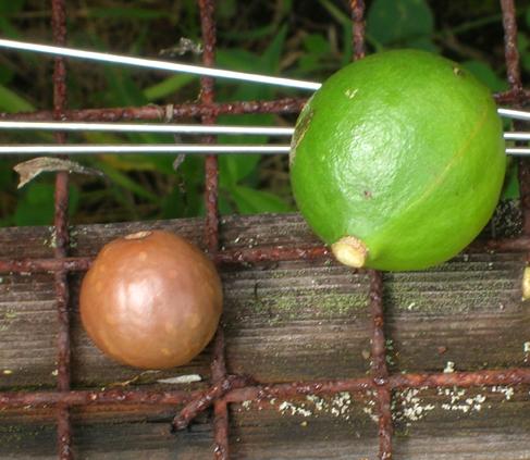 Hi-06-Oct-7-Smiths-Farm-371-macadamia-nut-lime_96.jpg