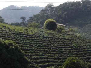 Coffee planted in full sunshine is typical of many plantations in Central America.