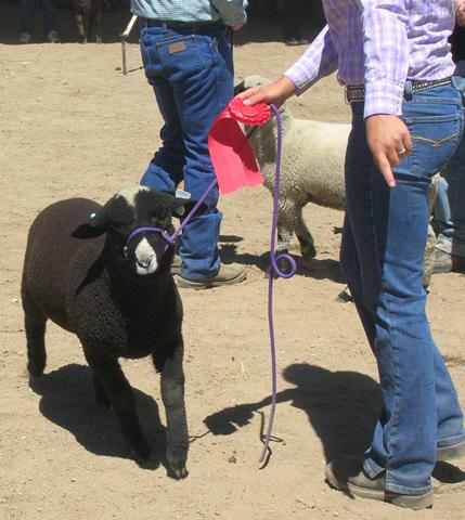 Estes Park 08 June 6004 black lamb_96.jpg