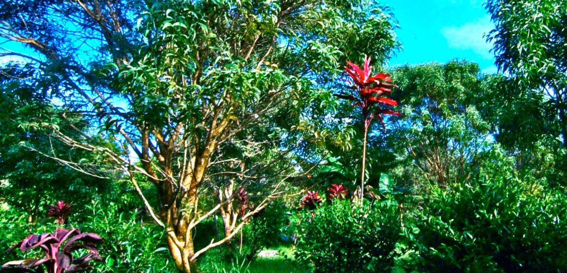 BigIsland_Tea plants in the forest2.jpg