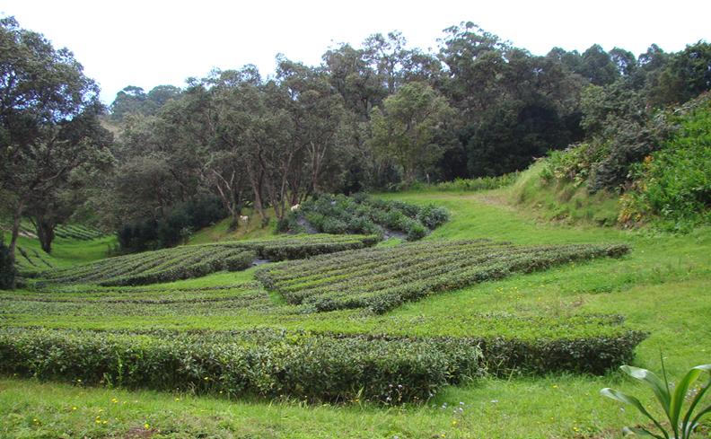 2013 3149 Feb 28 Mauna Kea Tea rows_72.jpg