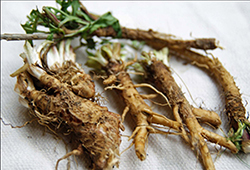 Chicory roots from the field—before trimming and drying.