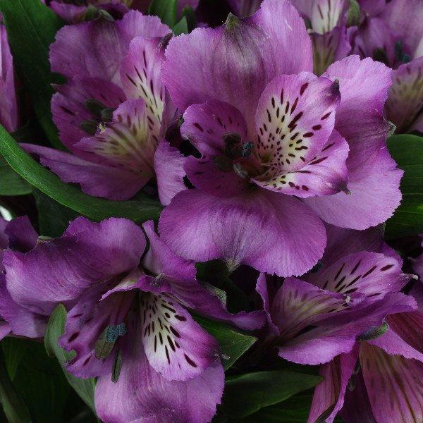 Purple Alstroemeria -