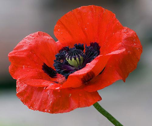 Poppy -