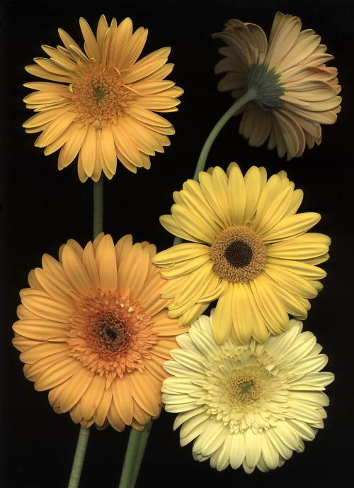 Yellow Gerbera -