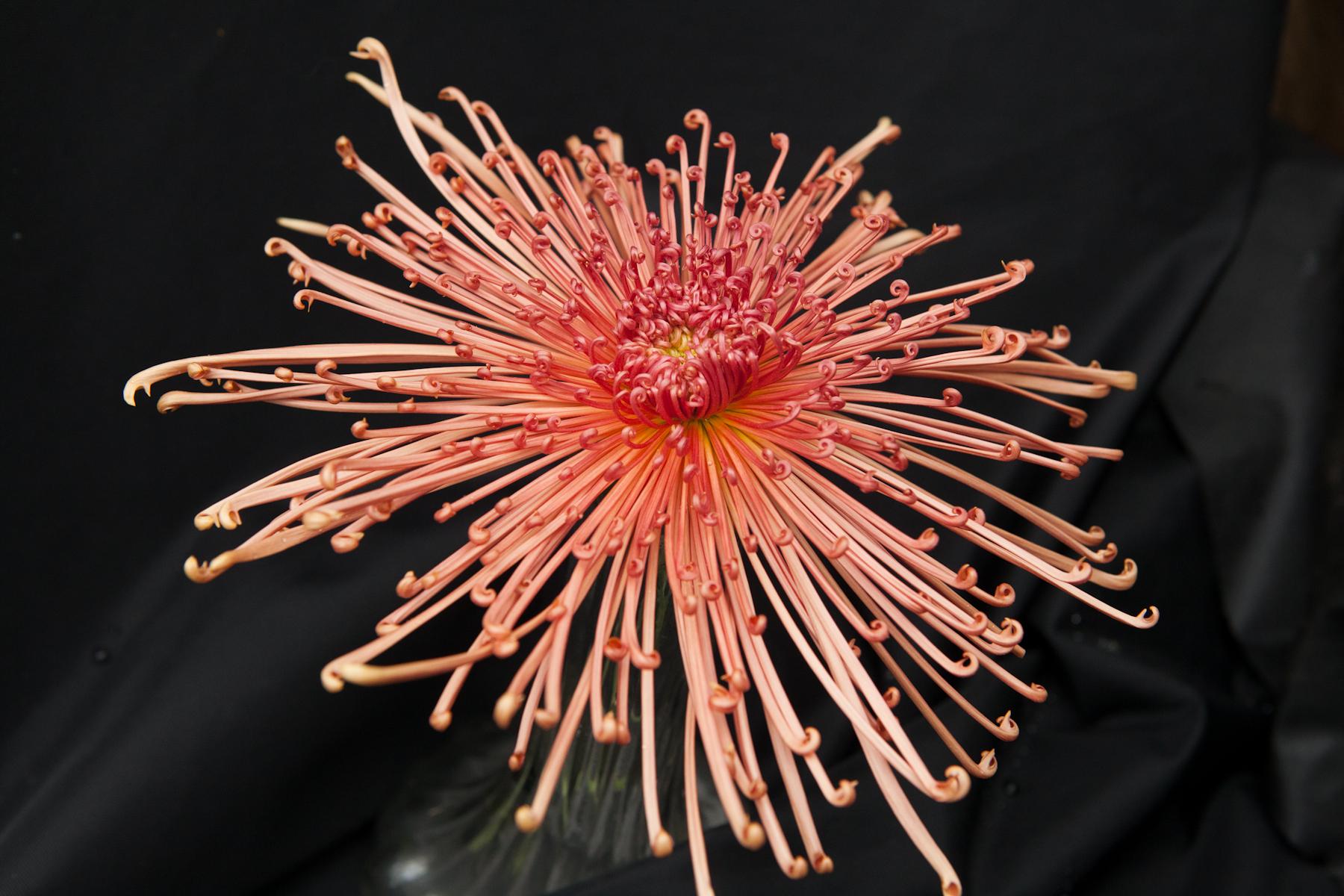 Spider Crysathemum -