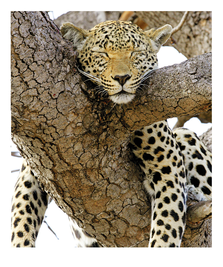 marchoberman_Lazy_Leopard.jpg