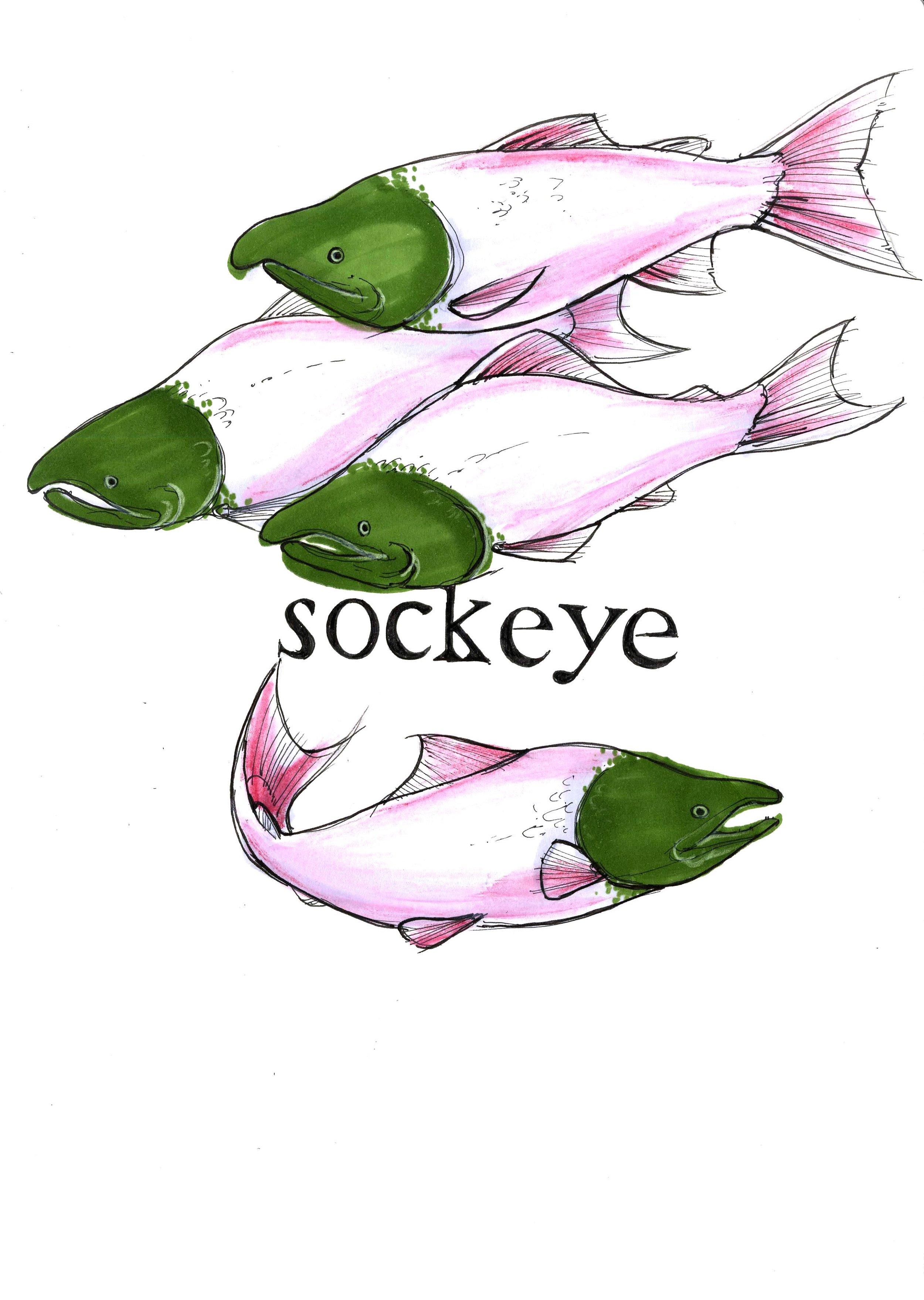 sockeye.jpg