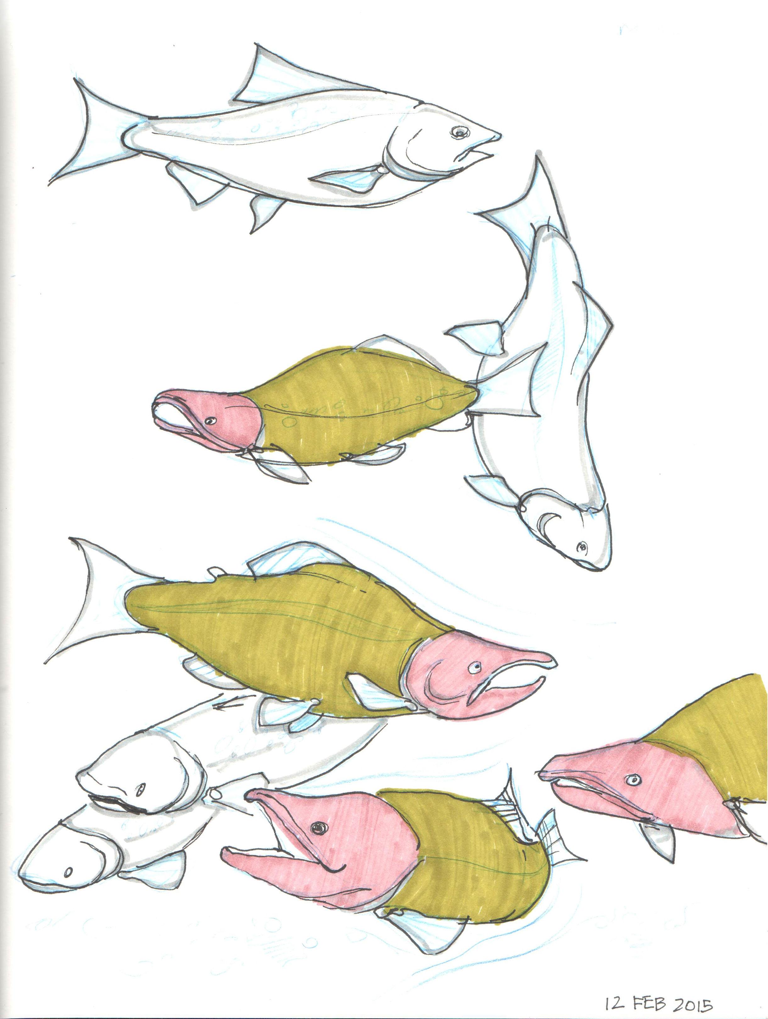 salmon swim.jpg