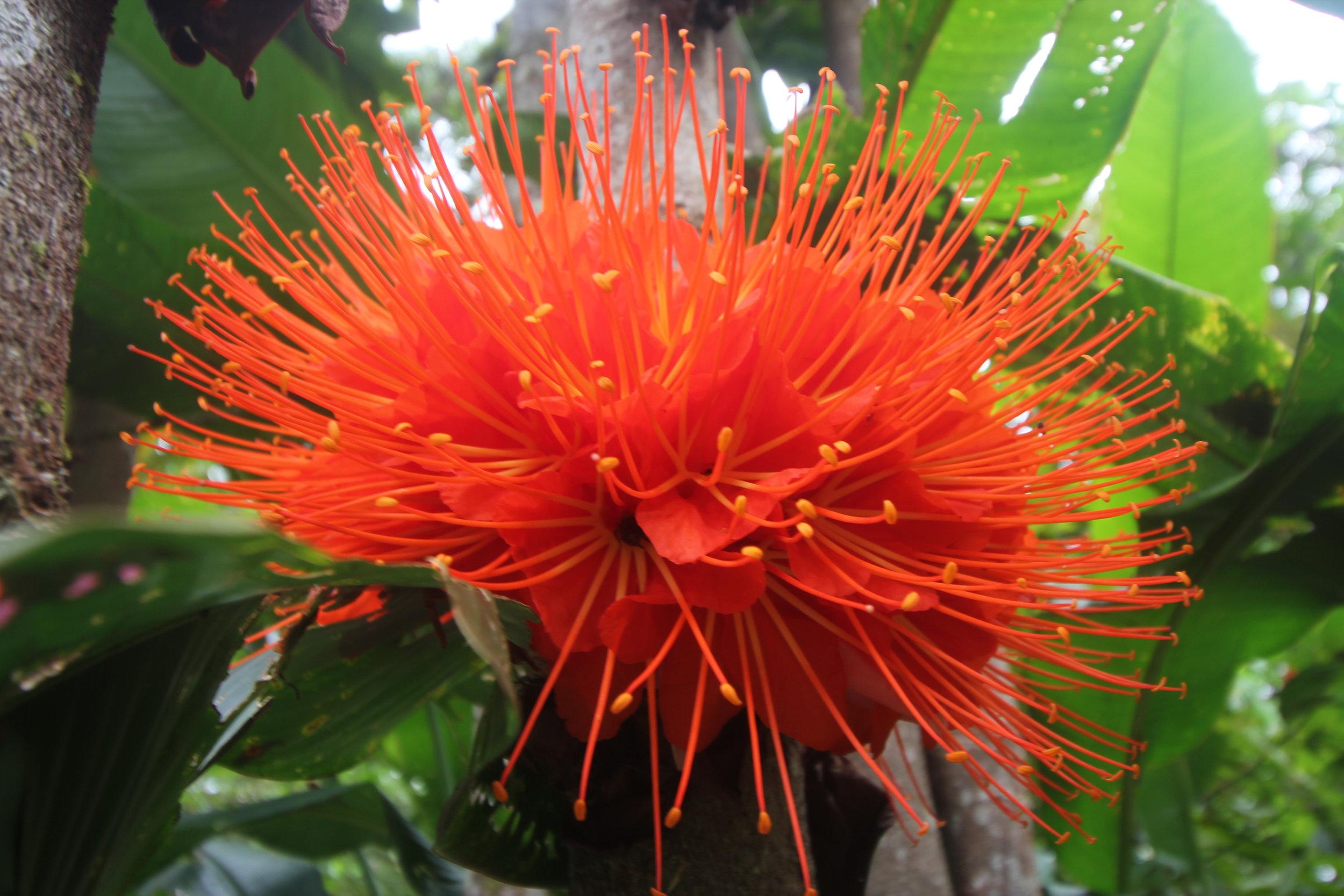 Amazonian Traditional Plant Medicine and Ethnobotany -
