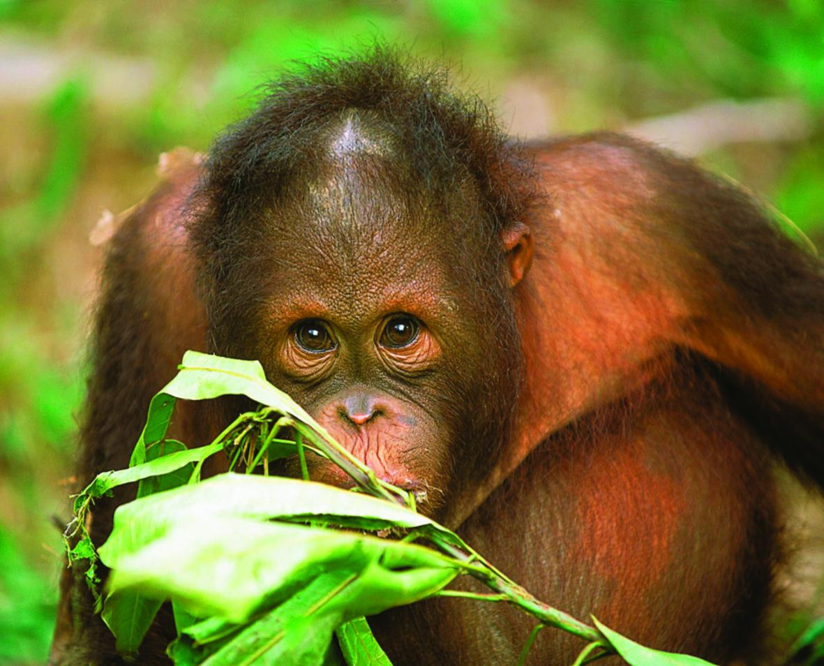 orangutan Borneo.jpg