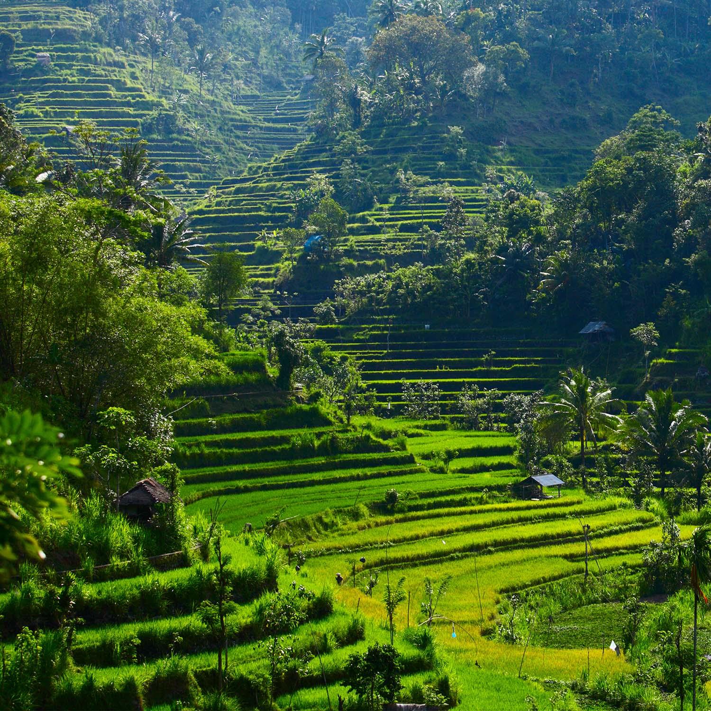 Ubud rice fields_1500px.jpg