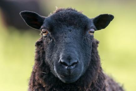Welsh Black Sheep