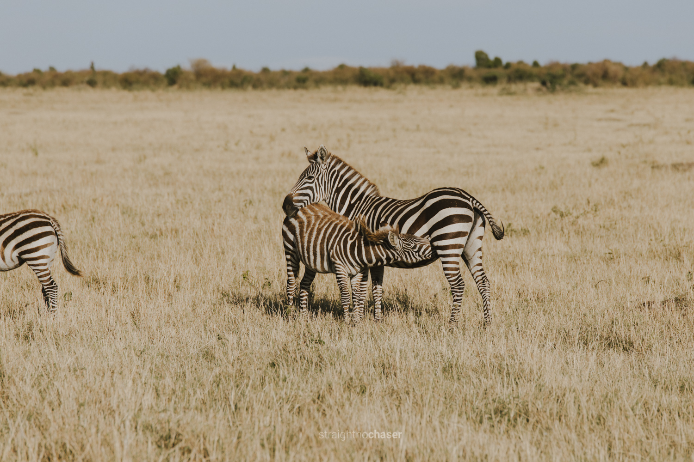 Zebra mother and child in the Masai Mara