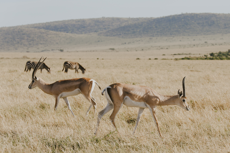 Safari diary part 1: Impalas in the Masai Mara