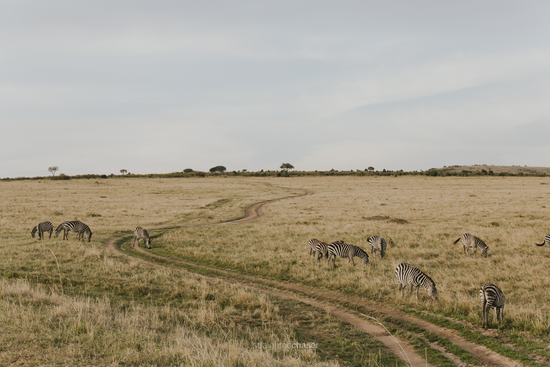 Safari diary part 1: zebras in the Masai Mara